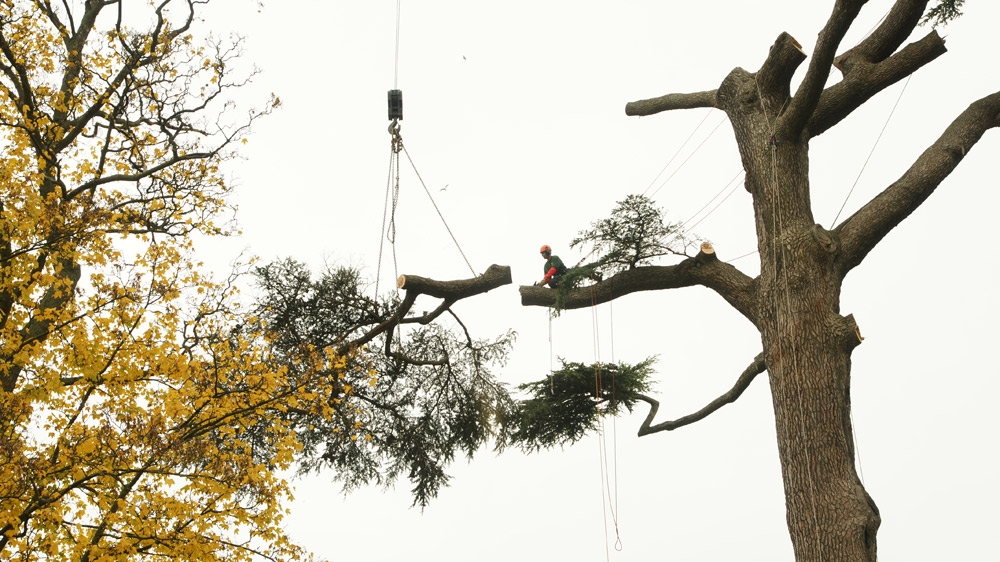 abattage arbre delicat